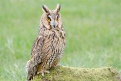 Hooting with the Owls